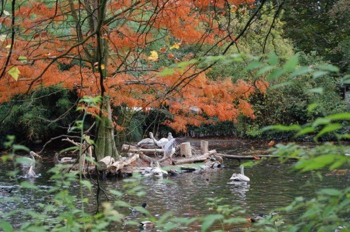 Pelikane im herbstlichen Teich