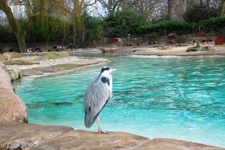 Das Pinguin Becken leer - nur ein Reiher guckt