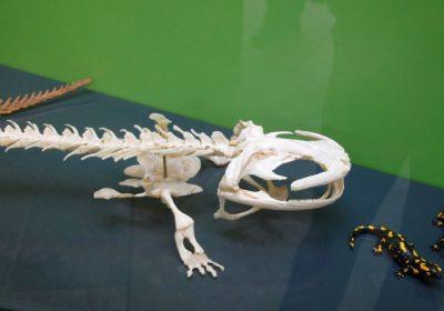 Salamander im Landesmuseum