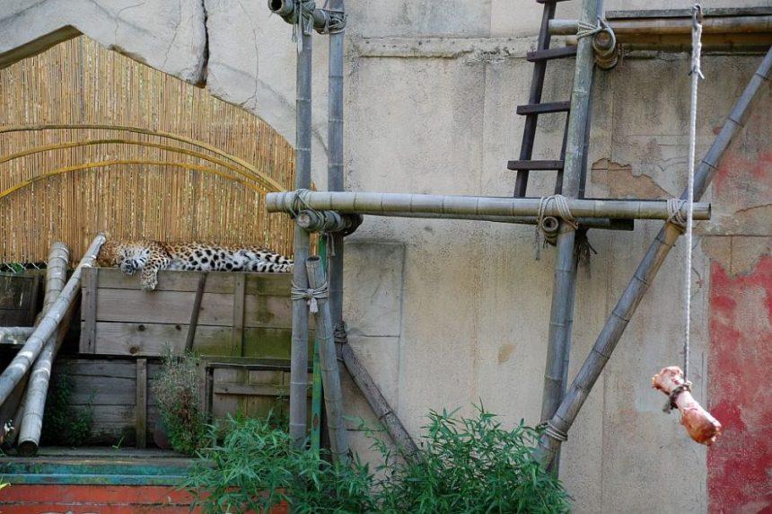 Chinesischer Leopard - satt!