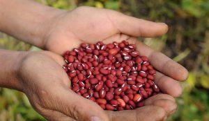 Rote Bohnen bei der Ernte