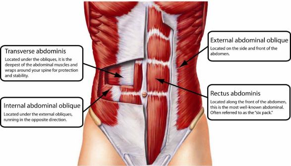 Image result for core musculature intestine