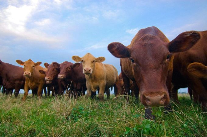 Why Grass-Fed Beef Is Better Than Grain-Fed Beef