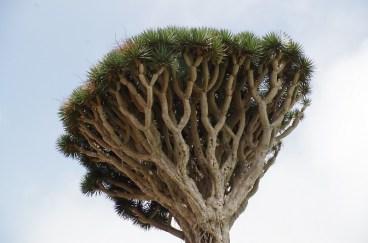 drago-dragon-tree