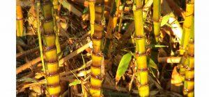 Bamboos 3