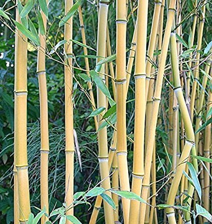 Some Varieties Of Bamboo Grass And their Uses You should know