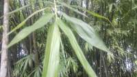 17 Awesome Health Benefits of Bamboo Leaves You Should Know