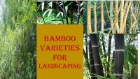 Best Bamboo Varieties For Your Landscaping needs