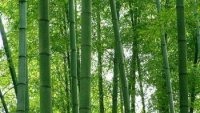 Giant bamboo species :Uses and cultivation tips