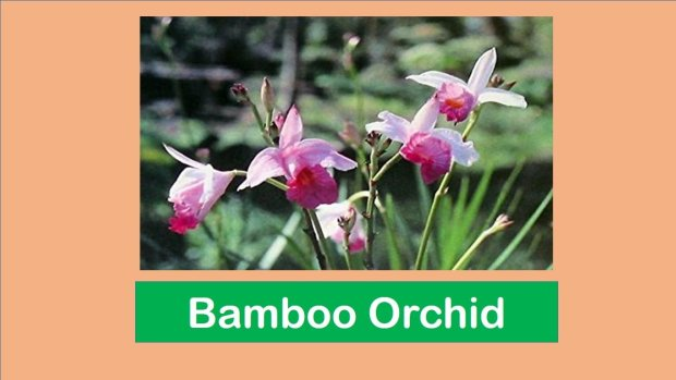 Why bamboo orchid is a delightful indoor plant