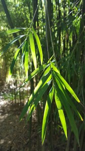 bamboo plants, bamboo guide, bamboo information, how to plant bamboo, learn about bamboo