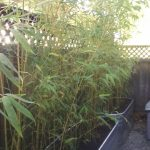 Containers Planter Boxes For Bamboo Bamboo Sourcery Nursery Gardens
