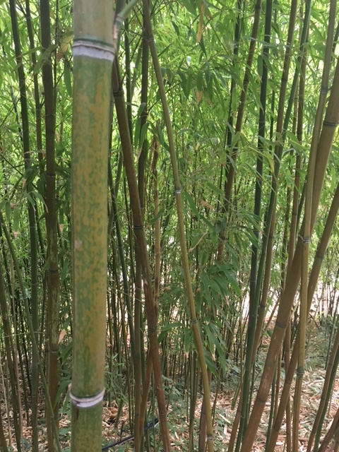 "9d5b13d03d63 Phyllostachys mannii  Decora  (formerly Ph. decora) ""Beautiful Bamboo"" –  PHDEC"