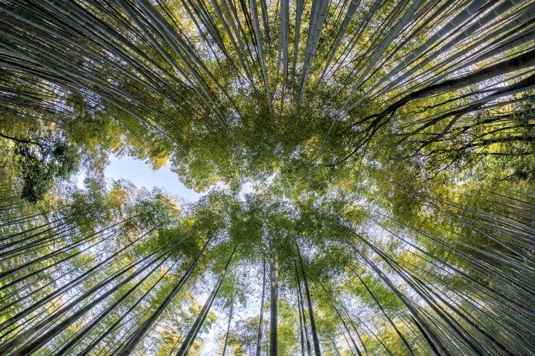 Bambou géant vu d'en bas