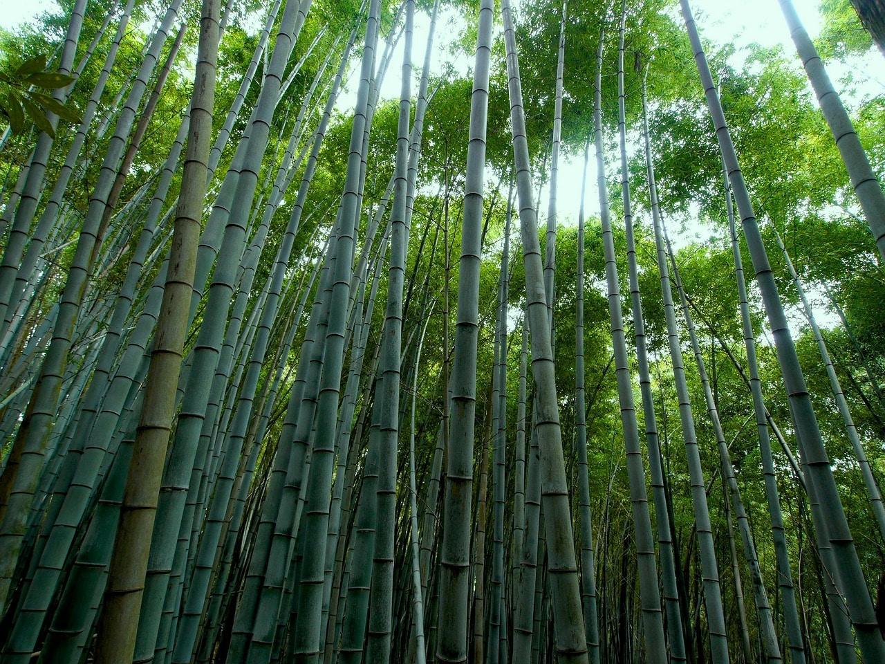 Bambou pousse vite