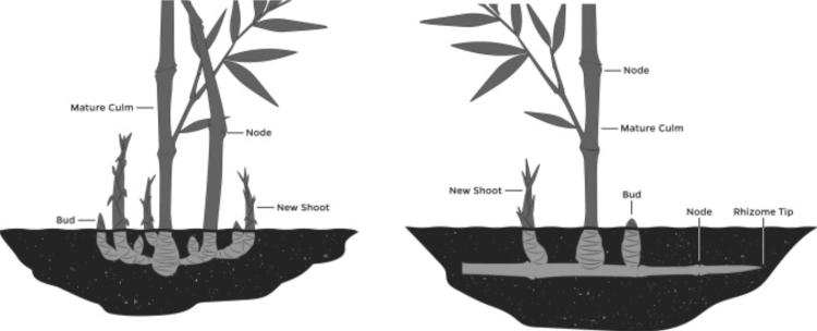 bambous traçants vs cespiteux
