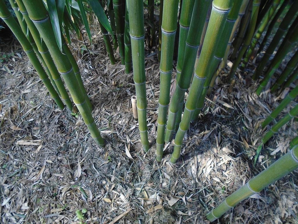 La perte des feuilles du bambou forme un paillis naturel