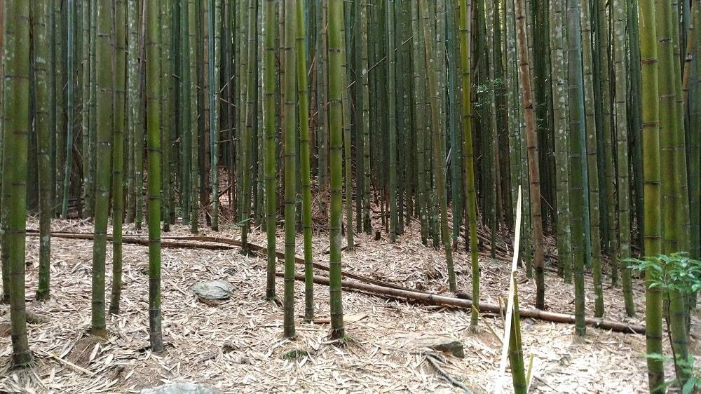 Bambou qui perd ses feuilles