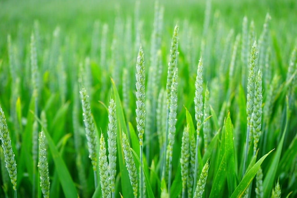 Plante monocotylédone: Le blé