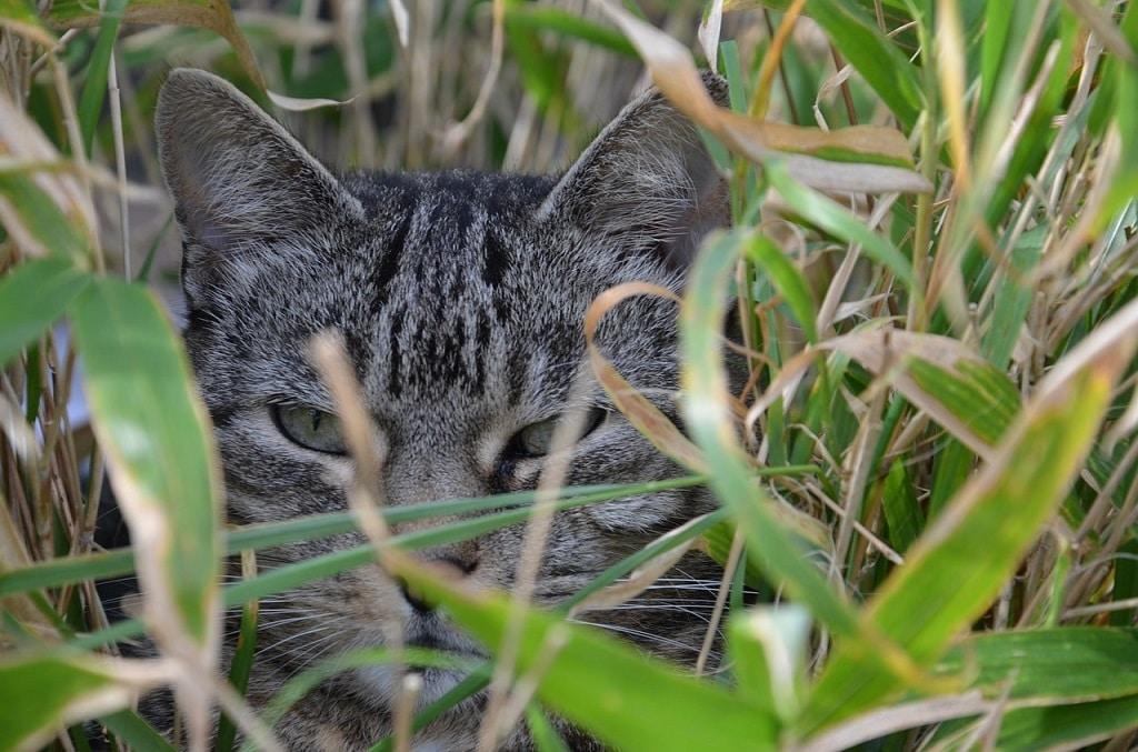 Chat dans le bambou non toxique