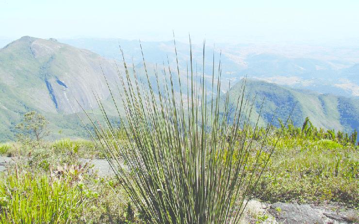 Glaziophyton mirabile, un bambou sans feuilles (Gustavo Martinelli, 2012)