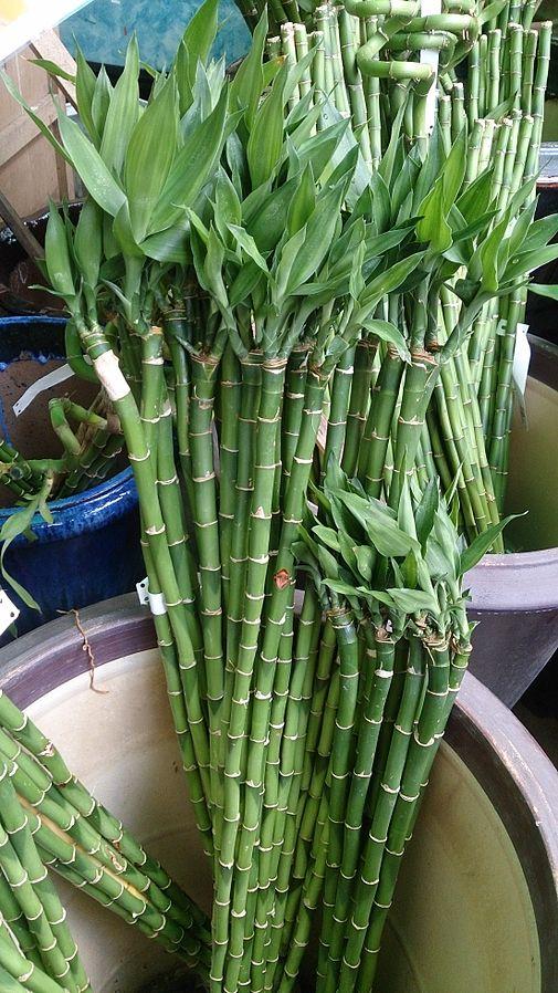 Lucky bambou dans l'eau