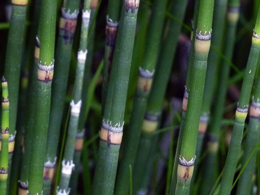 Prêle du japon - bambou sans feuille