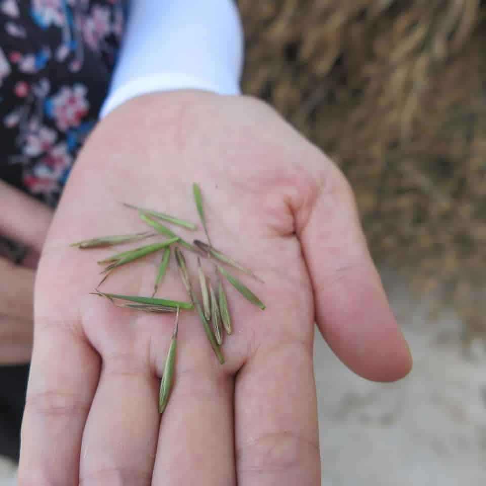 Graines du bambou Phyllostachys pubescens