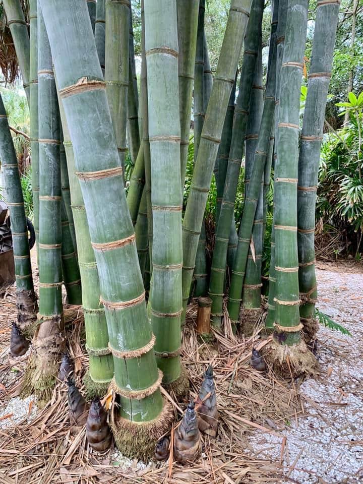 Dendrocalamus giganteus bambou géant non traçant
