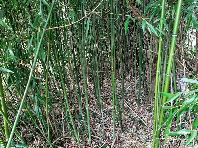 Faire pousser bambou plus vite 2