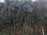 Comment Faire une Haie de Bambou Brise Vue ? Inconvénients et Avantages