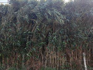 Haie de bambou brise vue