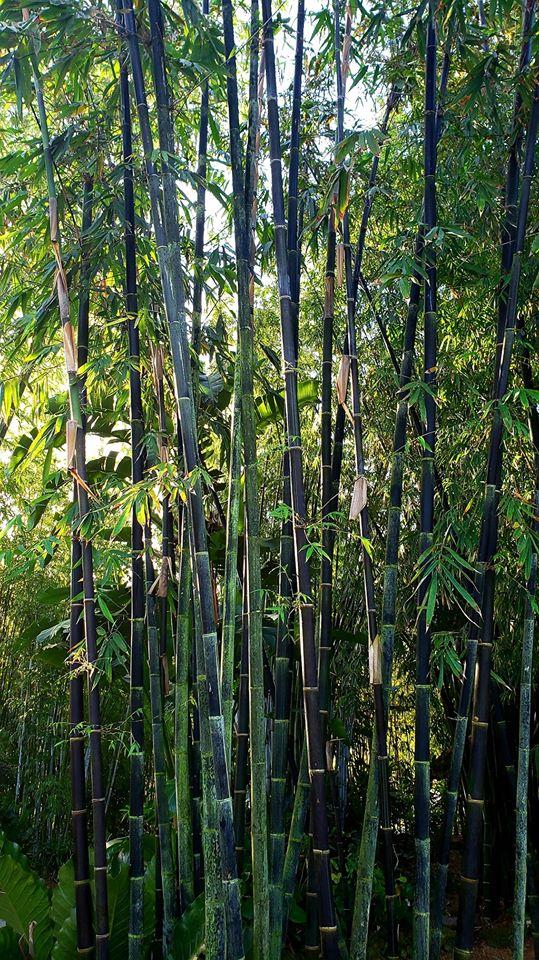 Phyllostachys nigra Bambou noir (Lauren Taylor-Mike Atkinson)