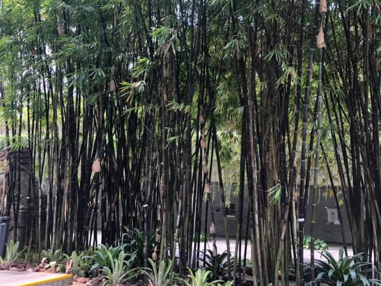 Haie de bambous noirs