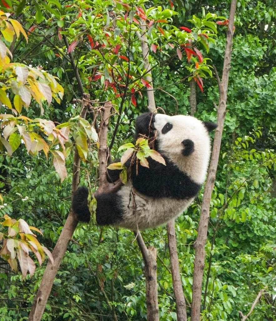 Panda qui grimpe à un arbre