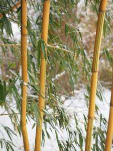 Bambou Phyllostachys aureosulcata spectabilis en hiver