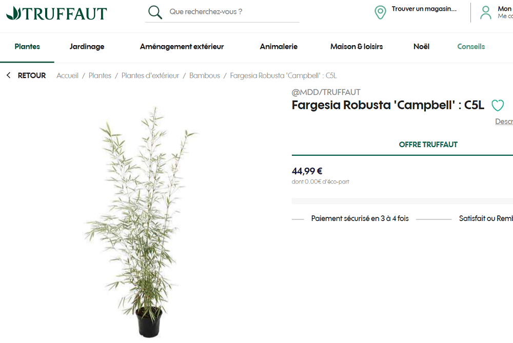 Bambou Fargesia robusta Truffaut