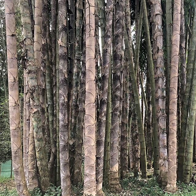 Bambou gros diamètre - Dendrocalamus sinicus