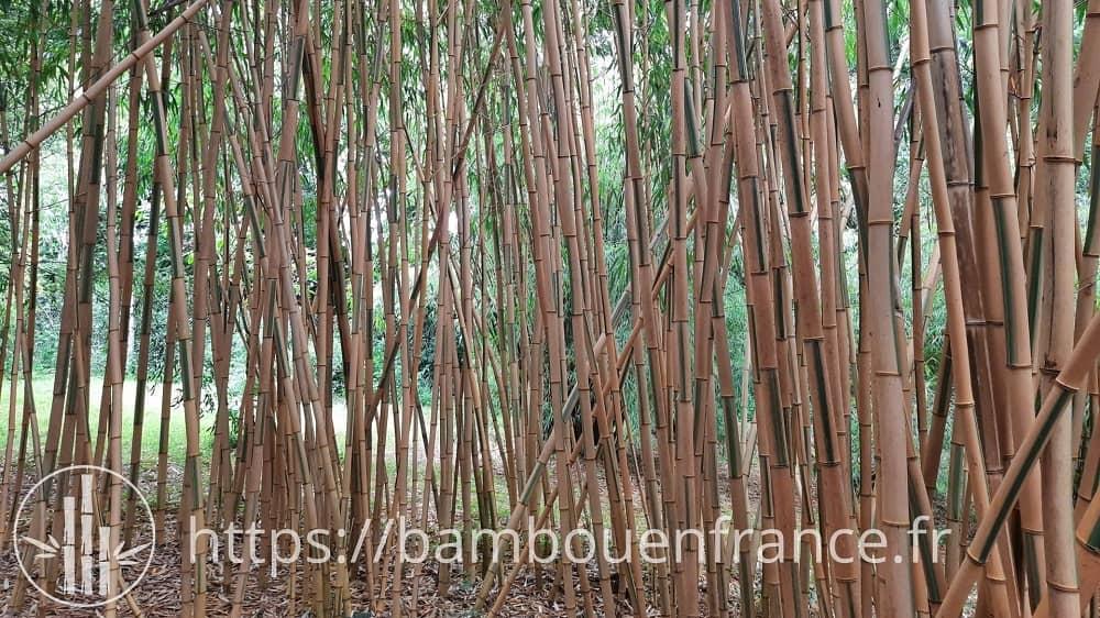 Phyllostachys vivax 'Huangwenzhu inversa' (Vallée des bambous)