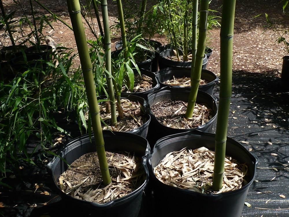 Bambou géant en pot