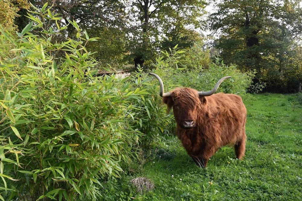 Vache dans le bambou