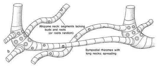 Morphologie d'un rhizome de bambou sympodial à entre-noeuds longs