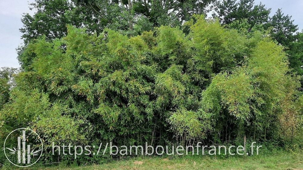 Bambous en pleine terre