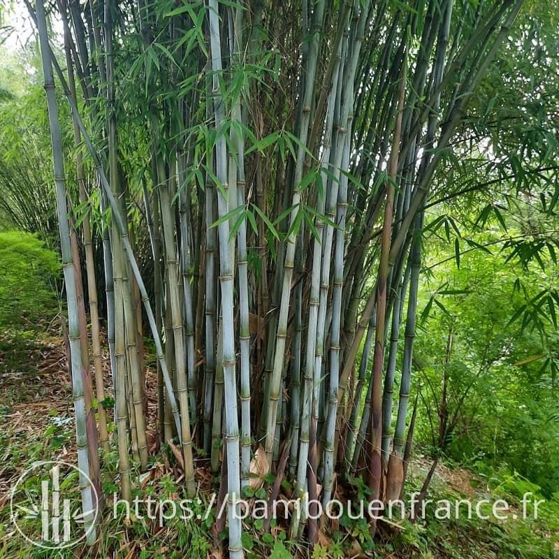Borinda bambou bleu