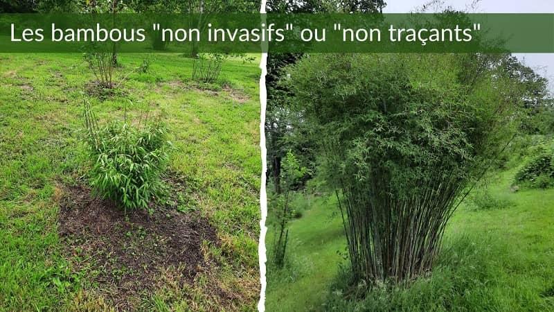 bambou non invasif