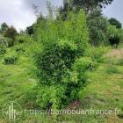 Fargesia nitida 'Black Pearl': un Bambou Noir Non Traçant Sulfureux !