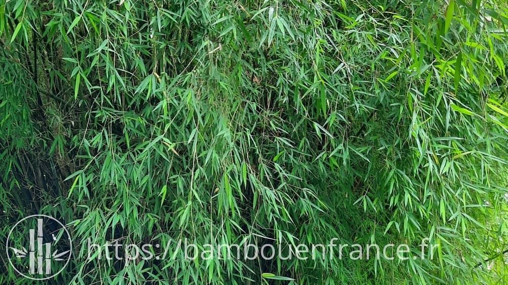 Feuilles de bambou fargesia angustissima