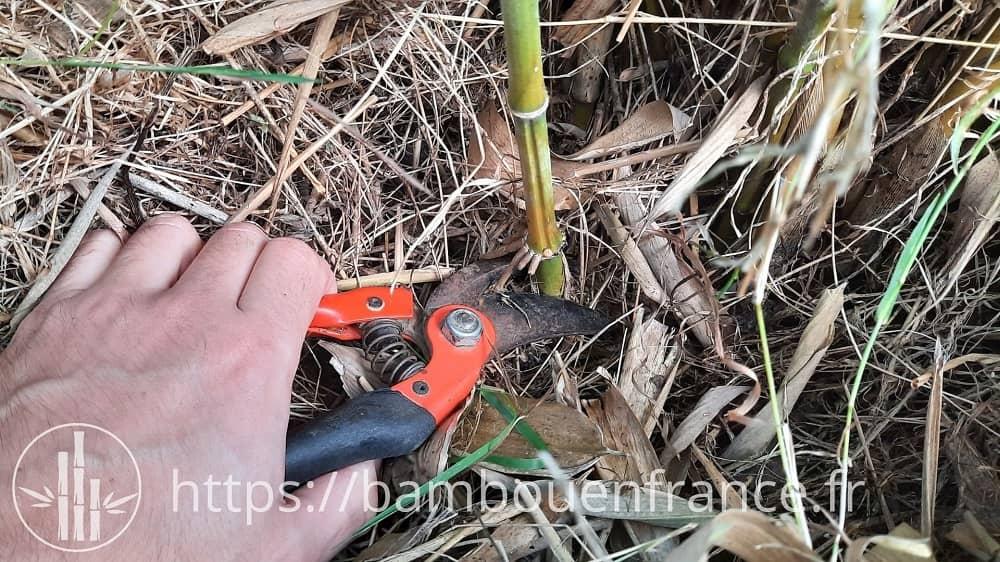 Couper des bambous pour faire des tuteurs