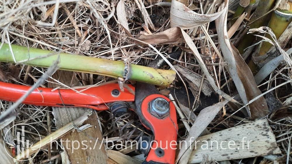 Tuteur en bambou coupé