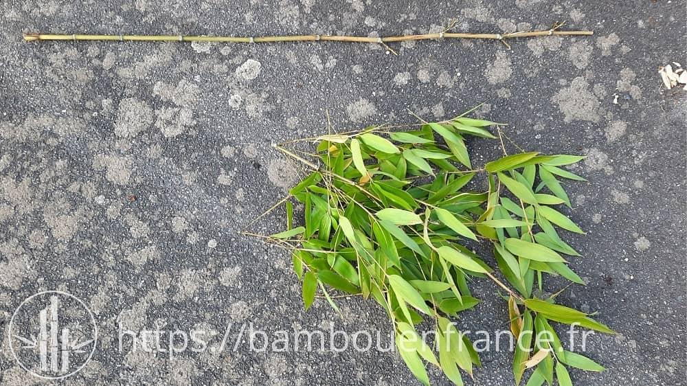 Bambou coupé sans les feuilles